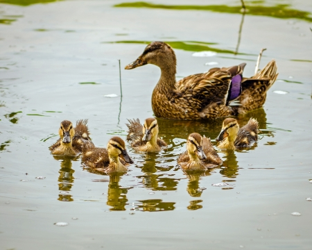 Baby mallard ducklings with mother in background Stock Photo