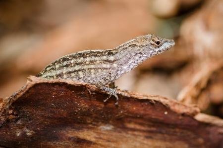 undulatus: Portrait of eastern fence lizard, Sceloporus undulatus