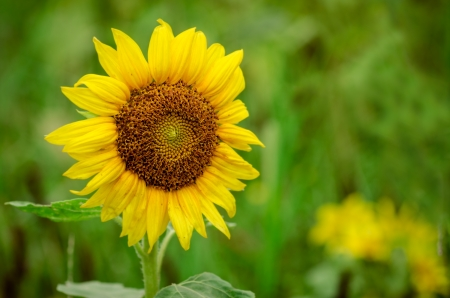 Close up of sunflower in field with room for copy Stock Photo