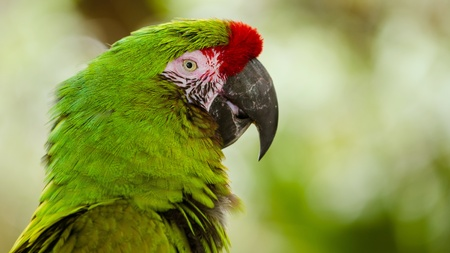 Close up portrait of military macaw  ara militaris  with copy space