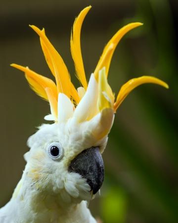 Portret van Sulphur Crested Cockatoo Cacatua galerita