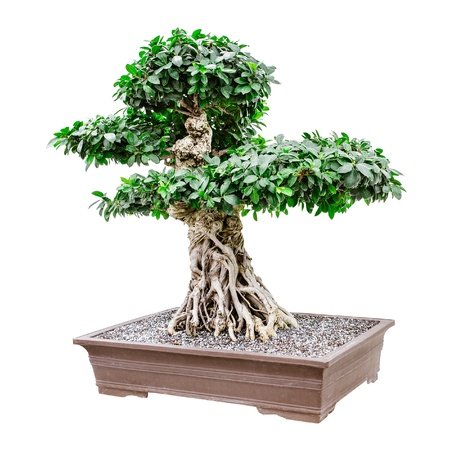 Large, fancy bonsai tree isolated on white photo