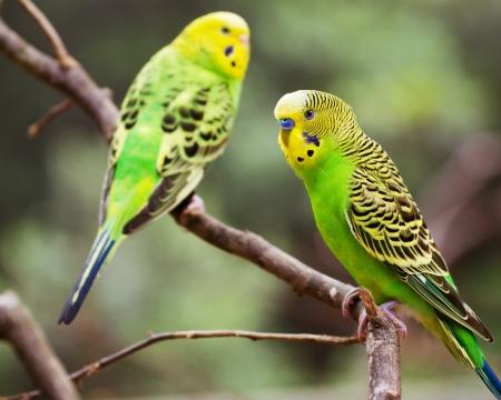periquito: Periquitos de colores que descansan en rama de árbol Foto de archivo