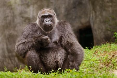 Western Lowland gorilla Gorilla gorilla gorilla
