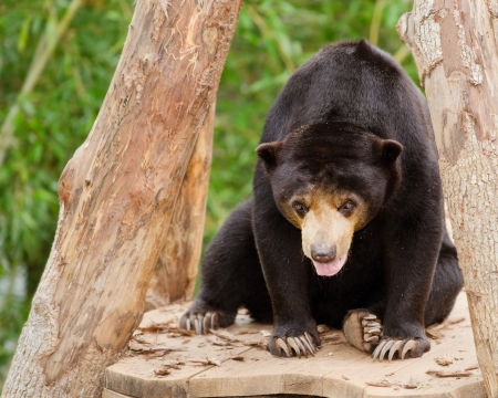 snoot: Malayan sun bear  Helarctos malayanus  Stock Photo