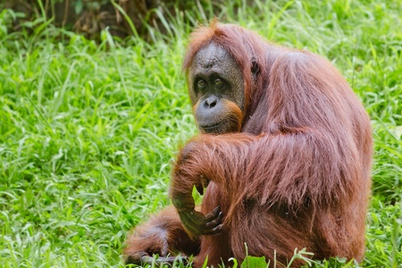 orang: Portrait of female orangutan  Pongo pygmaeus  Stock Photo