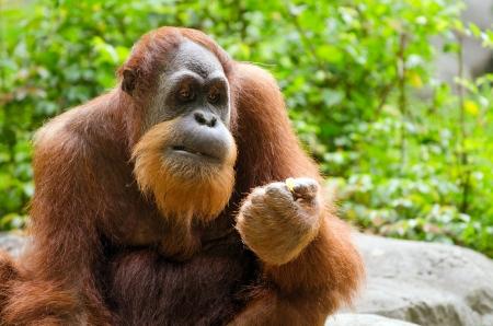 Portrait of adult orangutan  Pongo pygmaeus