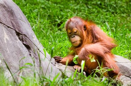 orangutang: Portrait of baby orangutan  Pongo pygmaeus