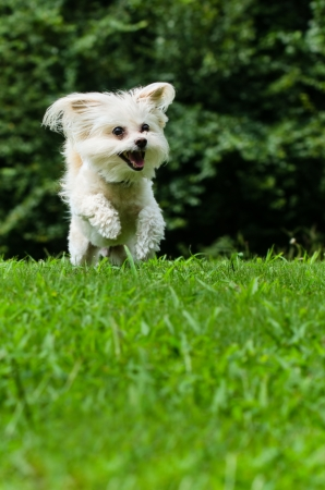 poodle mix: Maltipoo dog running and jumping in field with copyspace