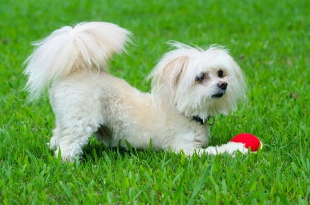 running nose: Portrait of maltipoo dog playing with ball in field