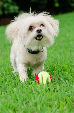 Portrait of maltipoo dog playing with ball in field Stock Photo - 21759569