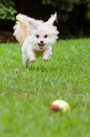 poodle mix: Portrait of maltipoo dog playing with ball in field