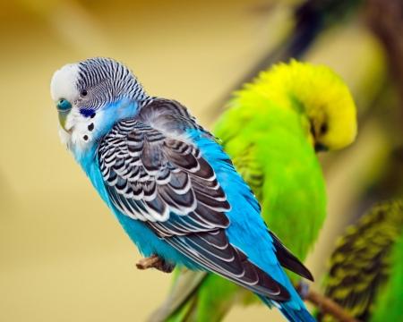 periquito: Perico colorido en la rama de árbol