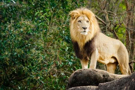 Mannelijke leeuw kijkt uit op het rotsachtige gedeelte