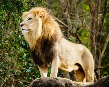 Male lion looking out atop rocky outcrop Standard-Bild