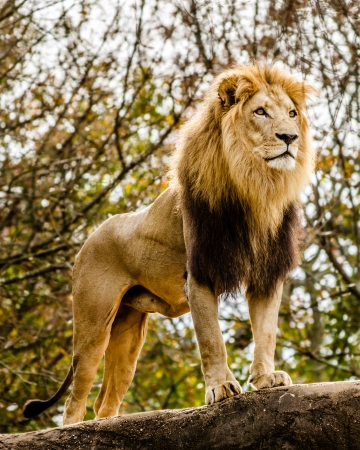 Male lion looking out atop rocky outcrop Stock Photo