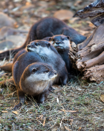 small clawed: Group of Asian small clawed otters  amblonyx cinereus