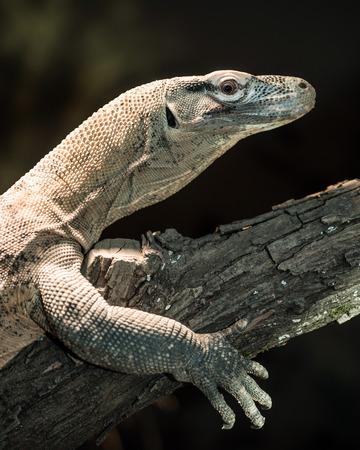 komodo island: Juvenile komodo dragon perched on tree branch Stock Photo
