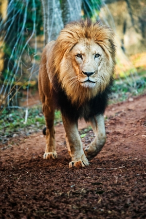 Portrait of male lion walking 版權商用圖片