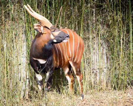 bongo: Bongo antelope   Tragelaphus eurycerus eurycerus