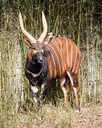 Bongo-Antilope Tragelaphus eurycerus eurycerus Standard-Bild - 25107624