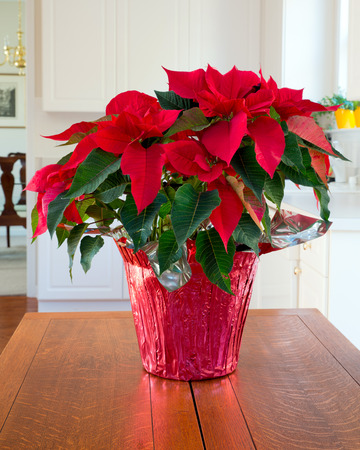 Christmas Poinsettia centerpiece in modern home Stock Photo - 26048295