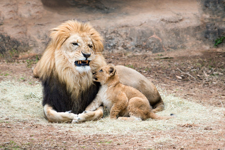 Male African lion growling at his cub photo