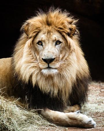 Portret van mannelijke Afrikaanse leeuw Stockfoto