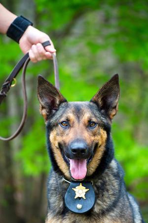 perro policia: Retrato de perro de trabajo policial en la correa en poder de controlador