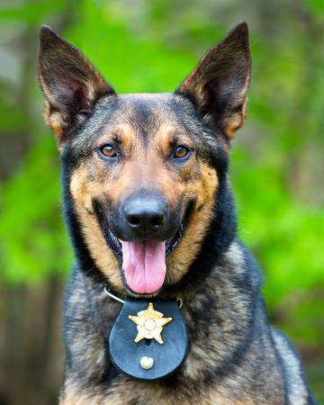 perro policia: Retrato de perro de trabajo de la policía Foto de archivo