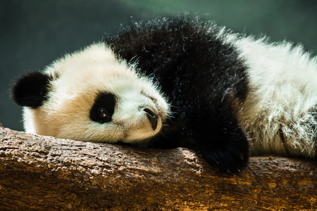 Baby panda cub resting on log photo