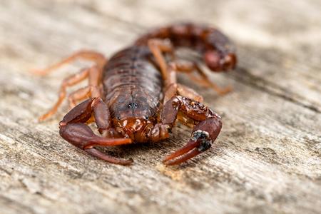 Close up macro image of devil scorpion  Vaejovis carolinianus  native to the Southeastern United States