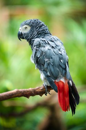 Portrait of African Gray Parrot  写真素材