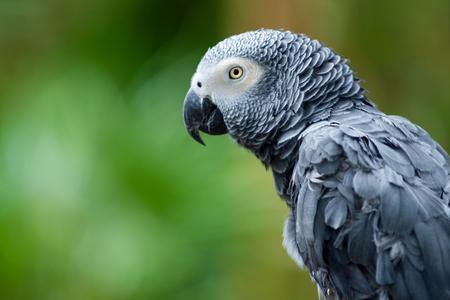 Portrait of African Gray Parrot  版權商用圖片