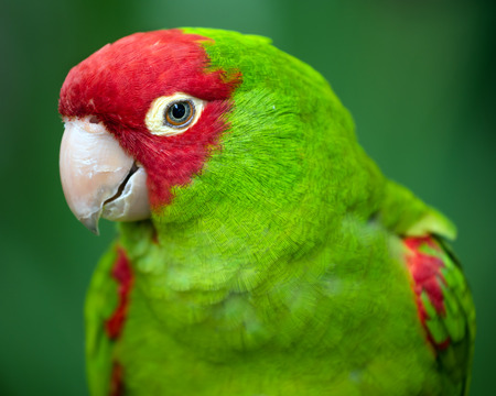 Portrait of red and green conure parrot photo