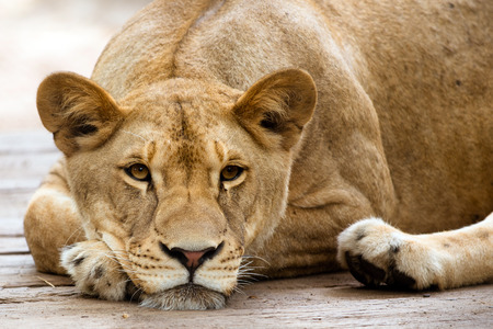 African lioness resting in the late afternoon 版權商用圖片