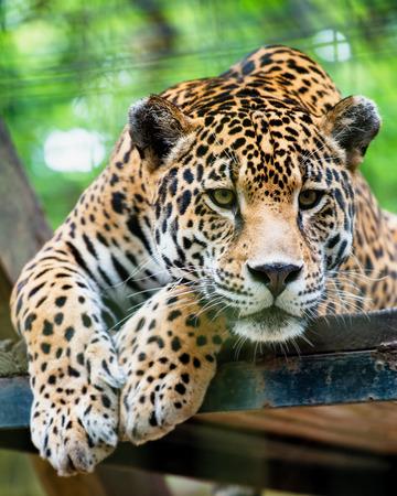 jaguar: Jaguar sudamericano