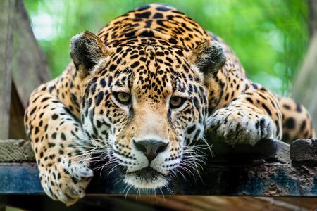 남미의 재규어 스톡 콘텐츠