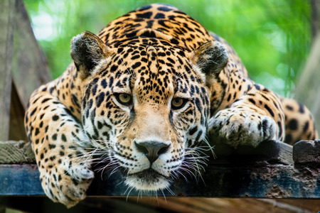 black and white panther: South American jaguar
