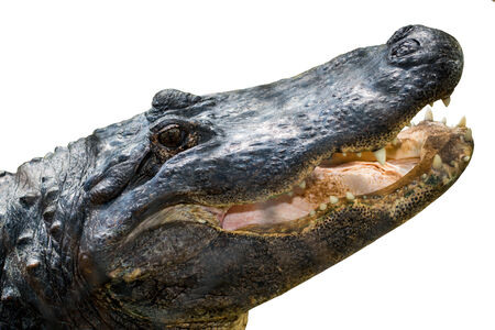 alligator eyes: Closue up of American alligator isolated on white Stock Photo