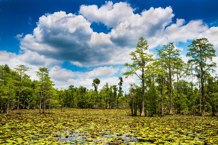 Summer swamp scene with cypress trees and blooming lilly pads 版權商用圖片