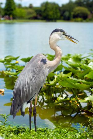 herodias: Portrait of great blue heron, Ardea herodias