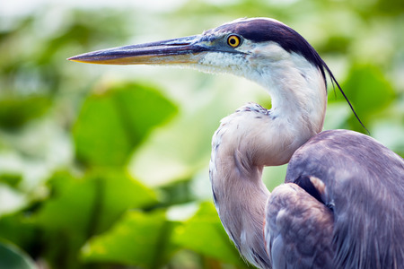 Portrait of great blue heron, Ardea herodias