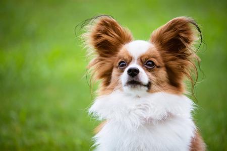 Portrait of purebred Papillon dog