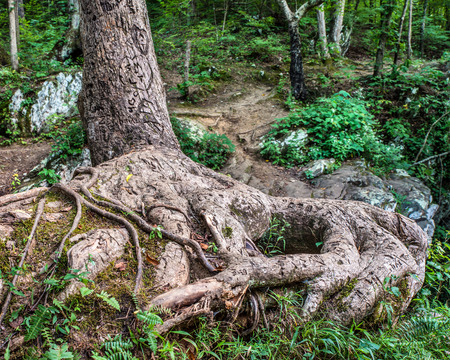 Lover s tree with gnarly roots and initials carved on it along forest path 版權商用圖片