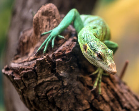 Emerald Tree Monitor, Varanus prasinus, climbing on tree stump 版權商用圖片 - 30116937