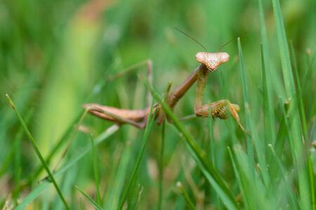 Praying mantis walking in grass in close up macro image 版權商用圖片