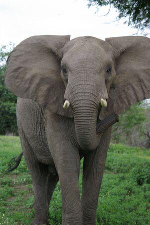 Elephant charging photo