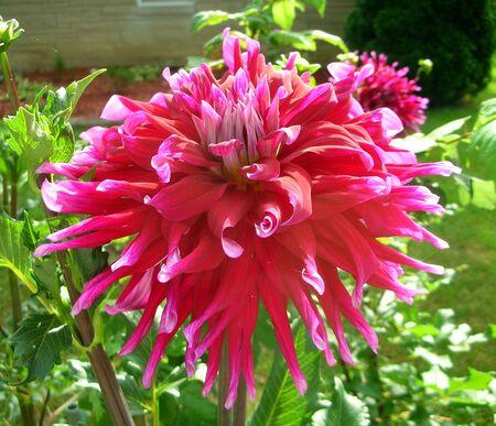 Red Dahlia flower close up in full sun