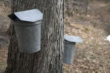 galvanised: Collecting the sap from a maple tree
